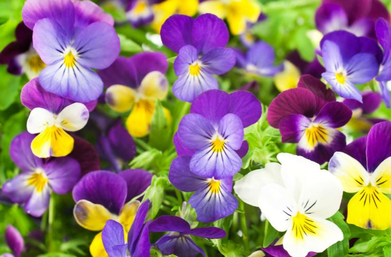 pride month flowers pansies