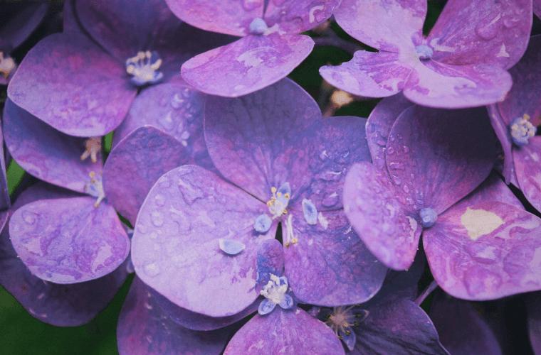 pride month flowers violet colour